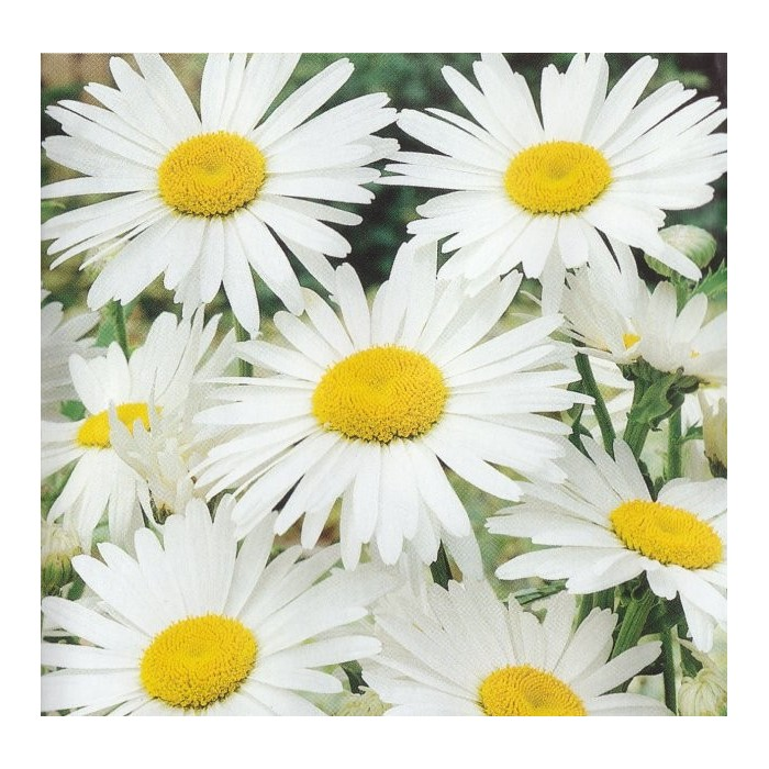 Chrysanthemum maximum 'Silver Princess'