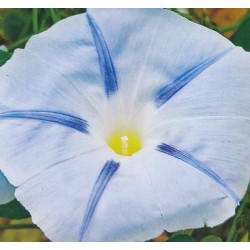 Ipomoea tricolor 'Blue Star'