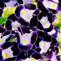 Torenia fournieri 'Deep Blue'