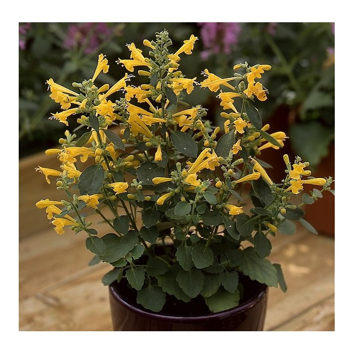 Agastache aurantiaca 'Sunset yellow'
