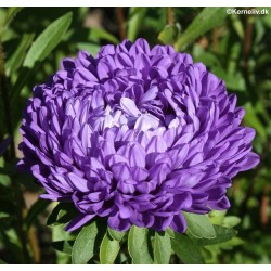 Callistephus chinensis 'Paeony Blue'