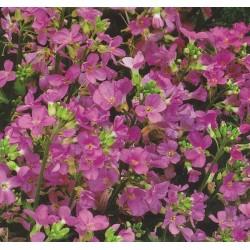 Arabis alpina 'Pink'