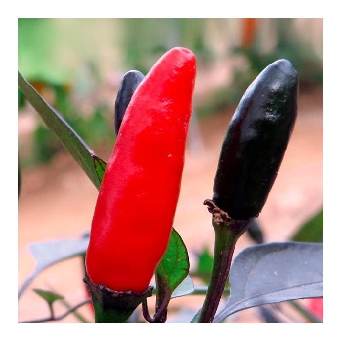 Chilipeber 'Zimbabwe Black'