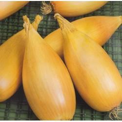 Banan-skalotteløg 'Tosca'
