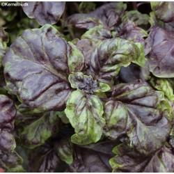 Ocimum basilicum 'Red Lettuce Leaf'
