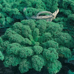 Borecole 'Dwarf Green Curled'