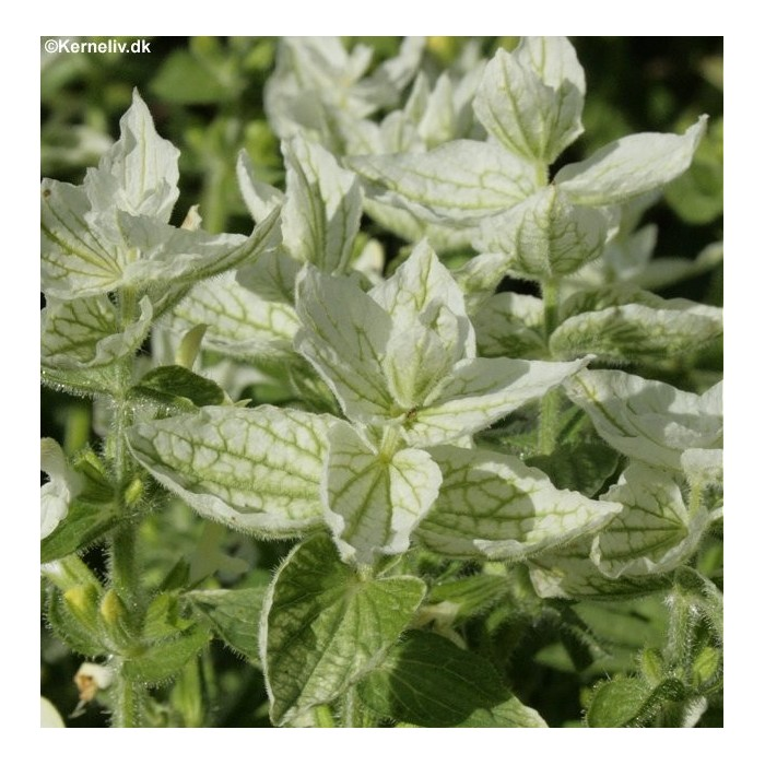 Salvia viridis 'White mist'