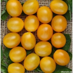 Galapagos tomat