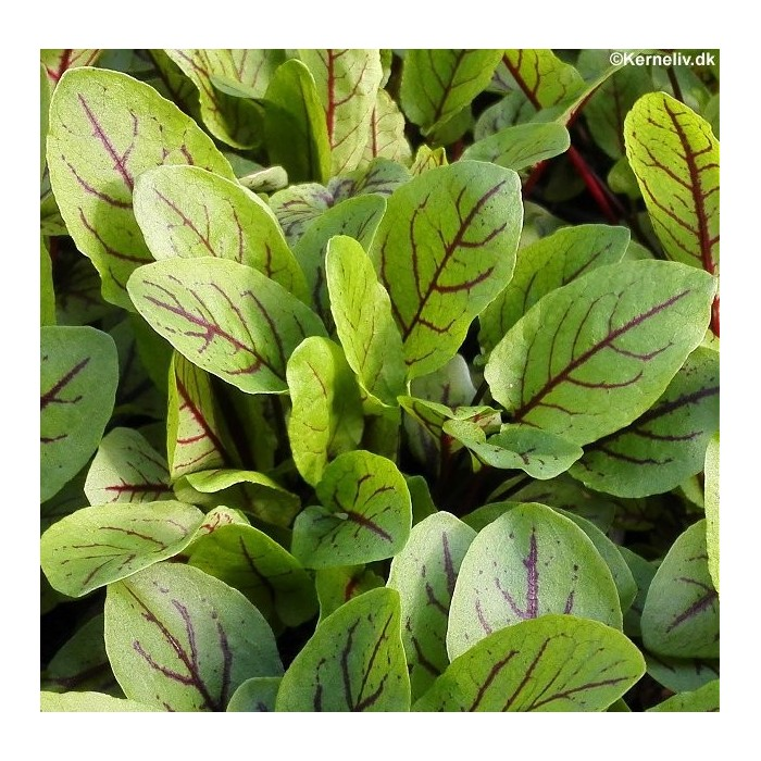 Rumex sanguineus 'Red Veined'