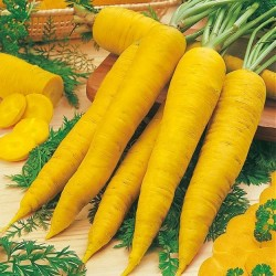 Carrot 'Yellowstone'