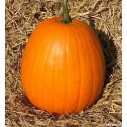 Pumpkin 'Jack O'Lantern'