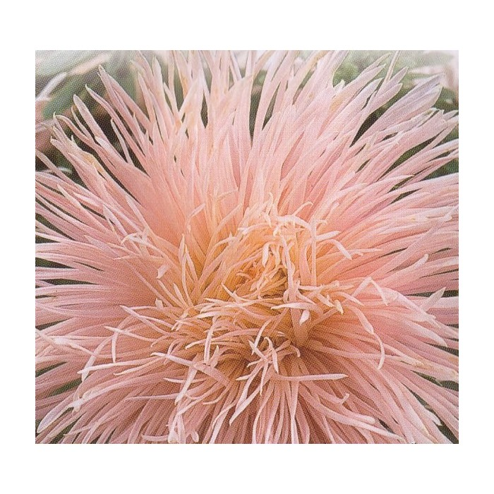 Callistephus chinensis 'Harz Peach'