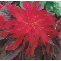 Amaranthus tricolour 'Splendour'