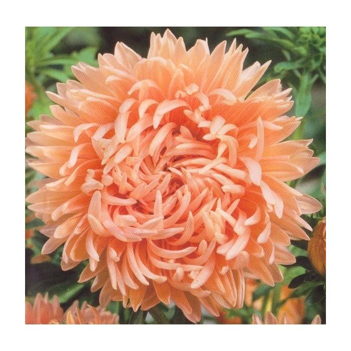 Callistephus chinensis 'Duchesse Paeony Peach'