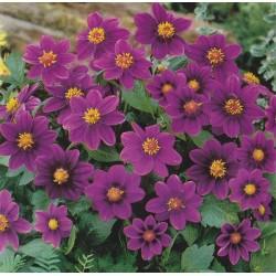 Dahlia variabilis 'Mignon purple shades'
