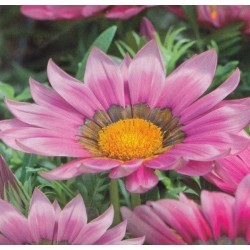 Gazania splendens 'New Day Pink'