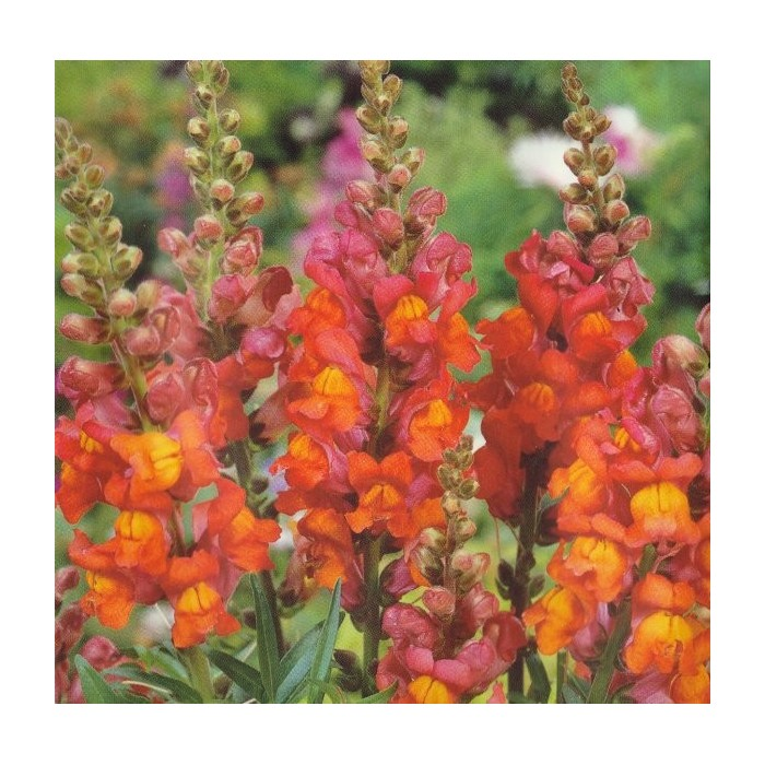 Antirrhinum majus grandiflorum 'Orange Wonder'