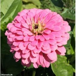 Zinnia elegans 'Luminosa Pink'