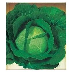 Cabbage, Winter 'Di Brunswick'