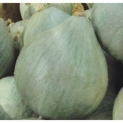 Vintersquash 'Blue Ballet'