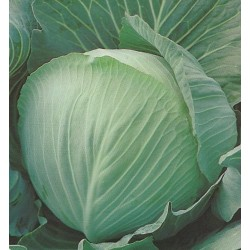 Cabbage, Winter...