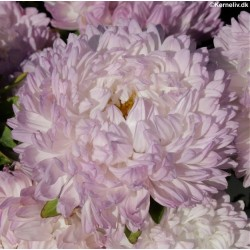 Callistephus chinensis 'Paeony Rosy Blush'