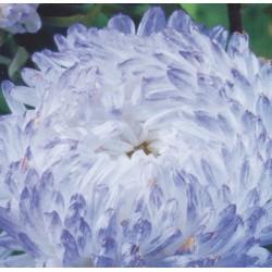 Festuca glauca, 'Auslese', Blue Fescue