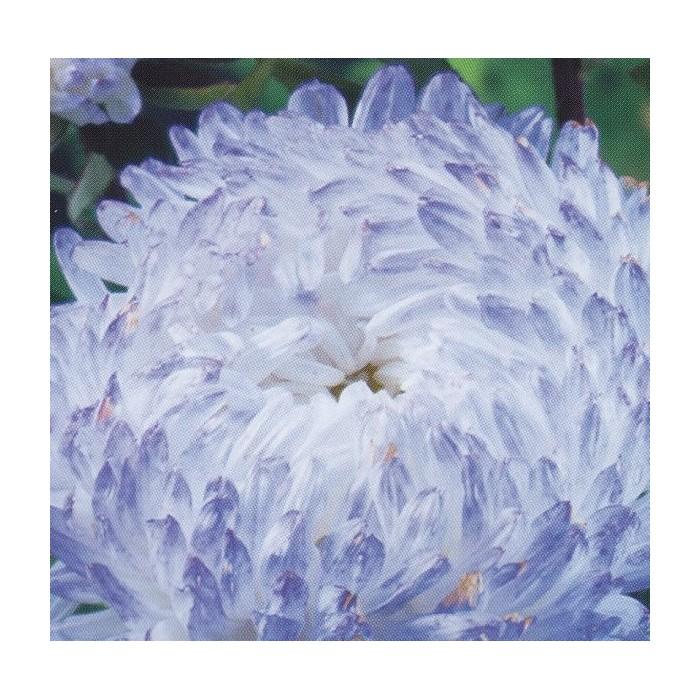 Callistephus chinensis 'Paeony Blue Blush'