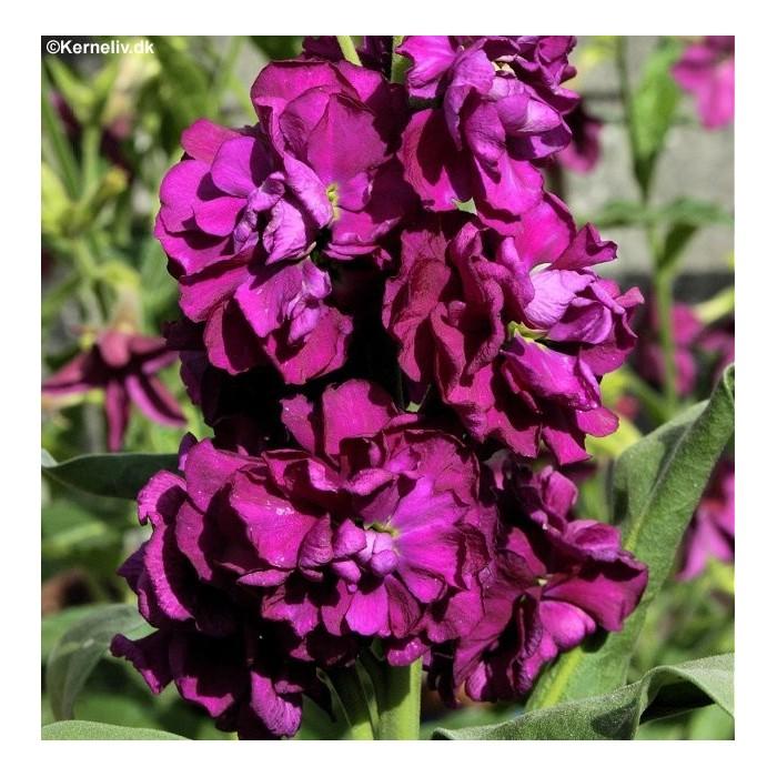 Matthiola incana 'Excelsior Purple'