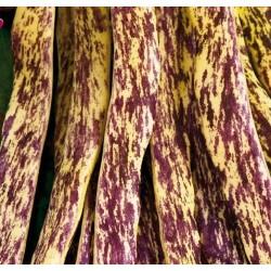Buskbønne 'Merveille de Piemonte'