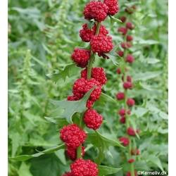Jordbærspinat, Chenopodium...