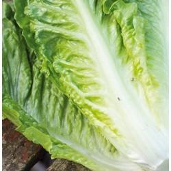 Romaine salat 'Tantan'