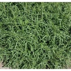 Vild Rucola(Diplotaxis tenuifolia)