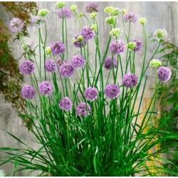 Allium 'Quattro F1'