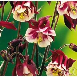 Aquilegia vulgaris 'Winky Double Red-White'
