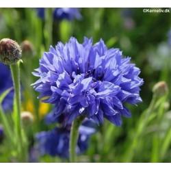 Centaurea cyanus 'Mix'