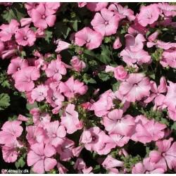 Tropaeolum majus 'Gleam Mixed', Slyngende blomsterkarse