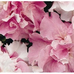 Petunia x hybrida pendula 'Cascade Orchid Mist F1'