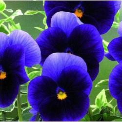 Viola x wittrockiana 'Velour Blue'