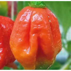 Chilipeber 'Trinidad Scorpion'