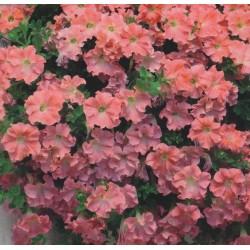 Petunia x hybrida pendula 'Soft Pink'