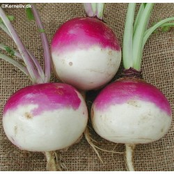 Turnip 'Purple top white...