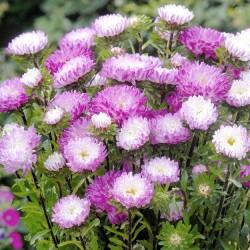 Callistephus chinensis 'Matsumoto Pink Tipped White'
