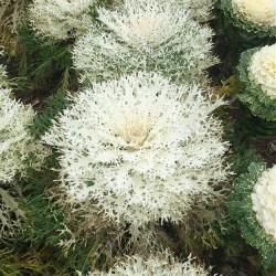 Brassica 'Peacock White F1'