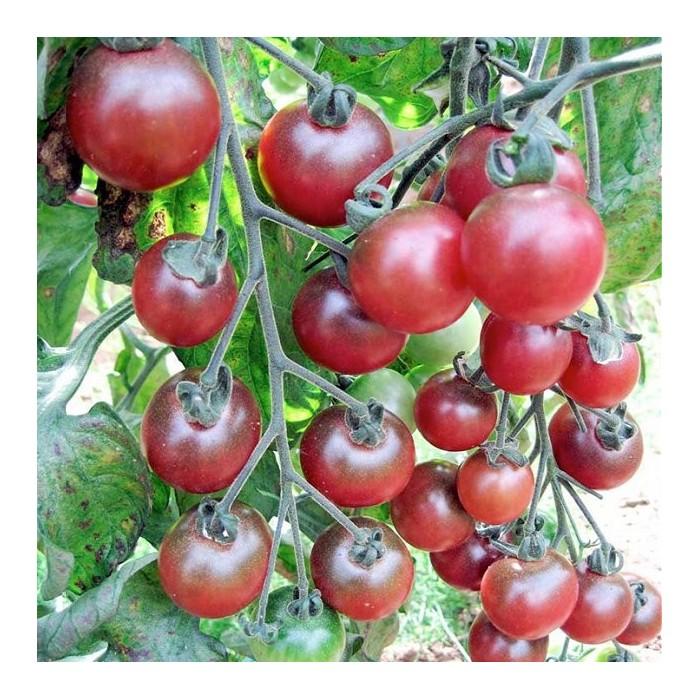 Cherrytomat 'Rosella'