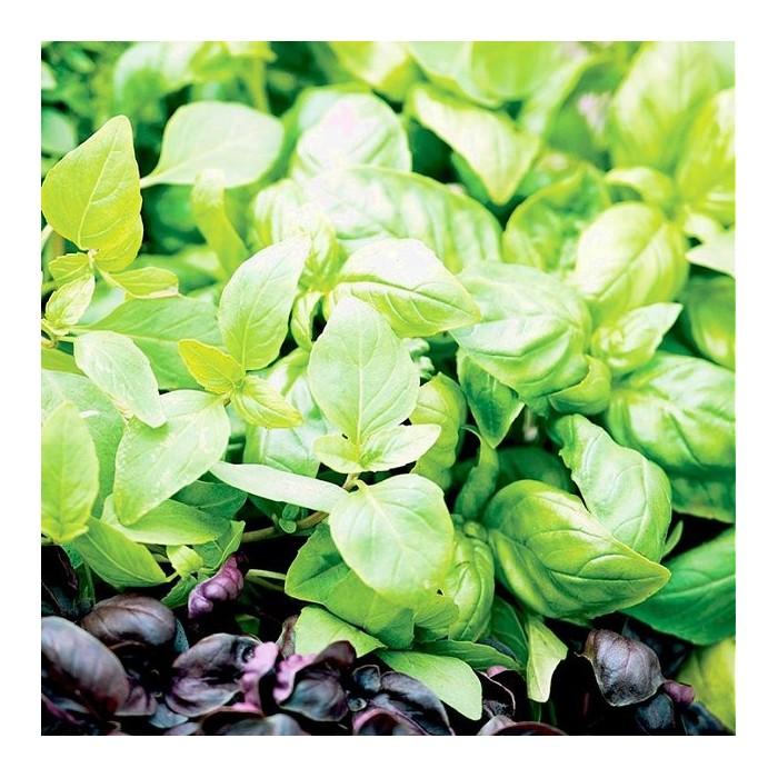 Ocimum basilicum 'Aromatic Mix'