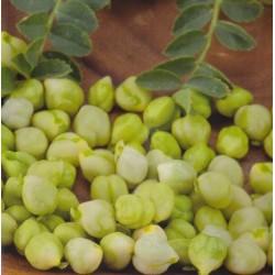 Kikært(Cicer Arietinum)