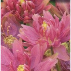Aquilegia vulgaris 'Clementine Rose'