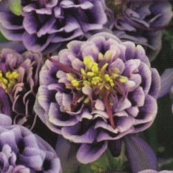 Aquilegia vulgaris 'Winky Double Dark Blue-White'