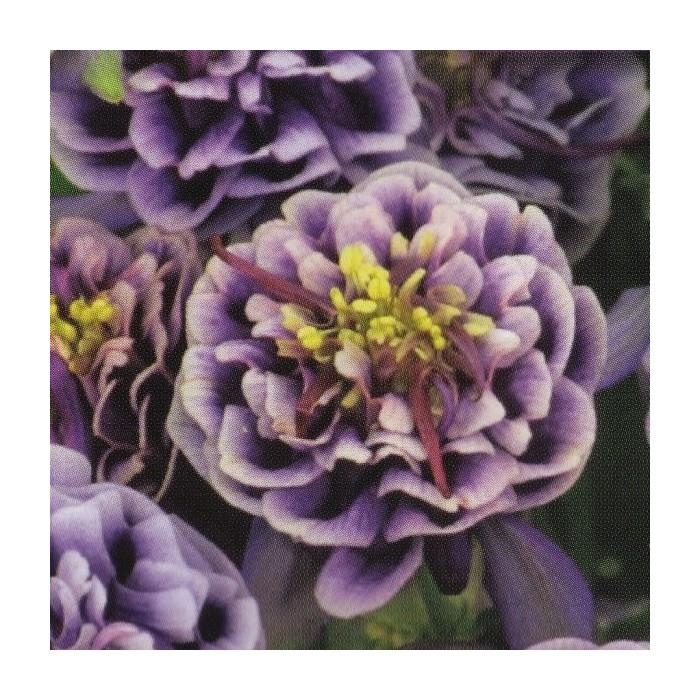 Aquilegia vulgaris 'Winky Double Dark Blue-White'